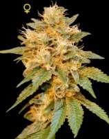 DNA Genetics Seeds SnowLAnd