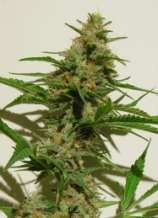 Dampkring Seed Bank Mexican Haze