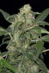 Fruity Pebbles OG (Alien Genetics) :: Cannabis Strain Info