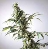 Dr. Hemps Seeds Thai-Breaker