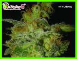 Dr. Krippling Seeds Incredible Bulk Auto