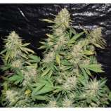 Dutch Quality Seeds AK