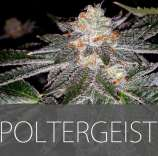 Exclusive Seeds Poltergeist