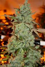 Fractal Genetics Strawberry Diesel