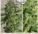 French Touch Seeds Frencheese