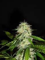 GreenLabel Seeds Lemon Bud