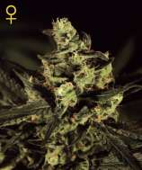 Green House Seeds Exodus Cheese