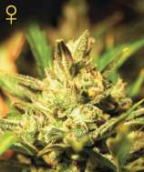 Green House Seeds Super Critical Automatic