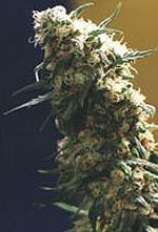 Homegrown Fantaseeds Fourway