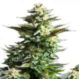 Jah Seeds Amnesia Horrendus