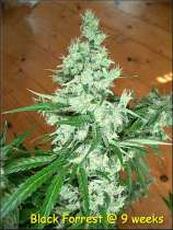 Kingdom Organic Seeds Black Forrest
