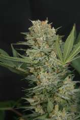 Lineage Genetics Black Alpha