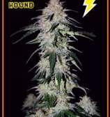 Sour Hound