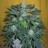 Motherland Genetics Automatic Cheese