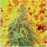 Natural Genetics Seeds Honey Lemon Cheese