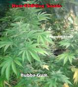 New420Guy Seeds Bubba-Gum Kush