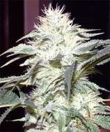 New420Guy Seeds White Widow