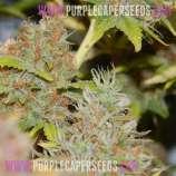 Purple Caper
