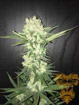 Real Gorilla Seeds Kushty