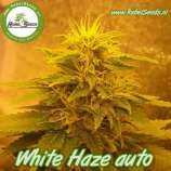 Rebel Seeds White Haze Auto