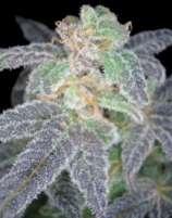 Purple OG #18