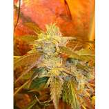 Riot Seeds Cherry Bubba Kush