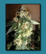 Riot Seeds White Ghost Dawg