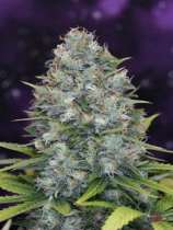 SOG Seeds Misty Bubble