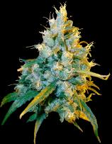 Secret Valley Seeds Jamaican Grape