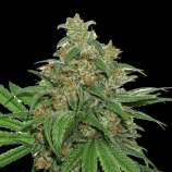 SeedStockers AK420 Autoflower