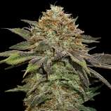 Fruit Cake Autoflower