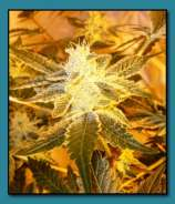wedding cake strain seed junky seed genetics strains io cannabis marijuana 25758