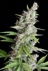 Seedmakers Seeds Akauto