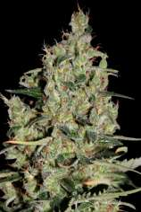 Seedmakers Seeds Auto Critical