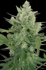 Seedmakers Seeds Low Dwarf