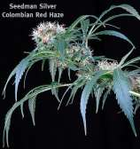 Colombian Red Haze