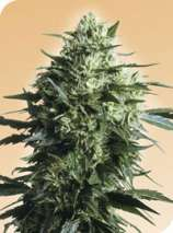 Sensi Seeds Mothers Finest