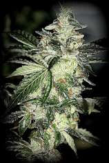 Sin City Seeds Aliens JackD Up