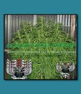 SnowHigh Seeds Afghani Street Sweeper