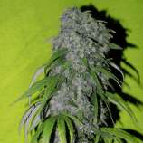Spliff Seeds Neville's Haze