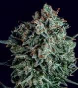 Blue Cheese x SCBDx