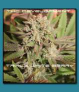 THC Development Seed Company Triple White Berry