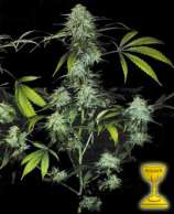 TH Seeds Bubblegum
