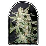 The KushBrothers Seeds Confidencial Medicine