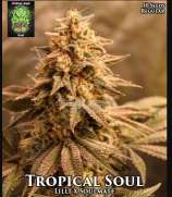 Trichome Jungle Seeds Tropical Soul