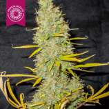 Tropical Seeds Company King Congo V4