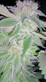 White Woods Genetics White Woods Cookies