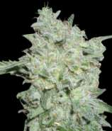 World of Seeds Bank Afgan Kush Special