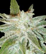 World of Seeds Bank Domina Star