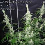 Zoolander Seeds Raspberry Kush x Northern Lights
